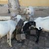 Dupla é presa suspeita de roubar ovelhas no interior de Campo Grande do Piauí