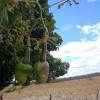 Com dificuldade na floração, safra do caju deve ser pequena em São Julião