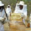 Com arranjos produtivos, apicultores do Piauí passam a exportar mel para os EUA
