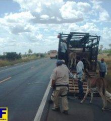Após acidentes, Polícia Rodoviária Federal apreende animais soltos na BR 407