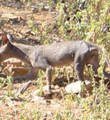 Animal estranho assusta população de Pio IX no Piauí