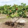 Caju precoce é a nova fonte de renda dos agricultores da região de Picos