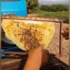 MONSENHOR HIPÓLITO  Polícia investiga ação criminosa que causou intoxicação de milhares de abelhas