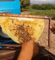 MONSENHOR HIPÓLITO| Polícia investiga ação criminosa que causou intoxicação de milhares de abelhas