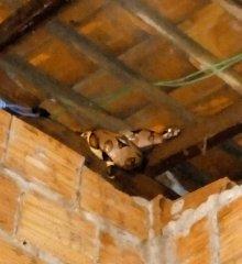 Cobra Jiboia é encontrada em telhado de casa no município de Guadalupe