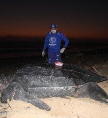 Tartaruga gigante encontrada em Parnaíba passa a ser monitorada via satélite