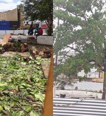Em Picos, Homem se acorrenta em árvore na Praça Félix Pacheco; Ativista tenta impedir a derrubada da árvore no local