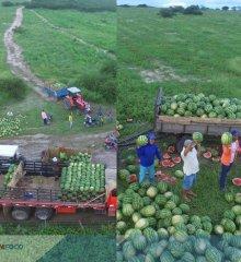 Em Alegrete, agricultor comemora  safra recorde de melancia com cerca de 600 toneladas da fruta